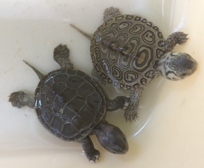 Baby turtles rescued from storm drains  in Sea Isle City by Steve Ahern of the Sea Isle Terrapin Rescue.